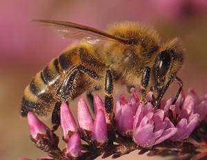 Mała pszczoła
