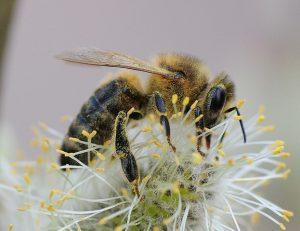 Pszczoła 2
