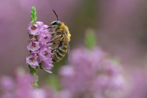 Pszczoła samotnica na wrzosie - Krzysztof Sztaba