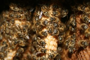 1692 Pszczoły w barci